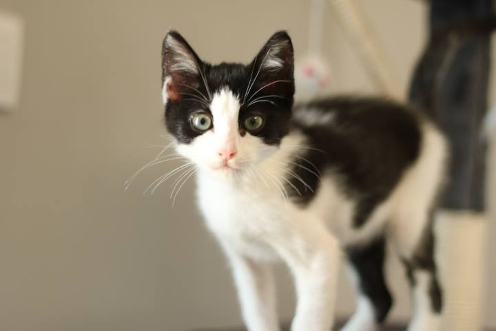 Aldo chaton à adopter Bastia